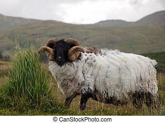 picture of sheep in rural mountain green field