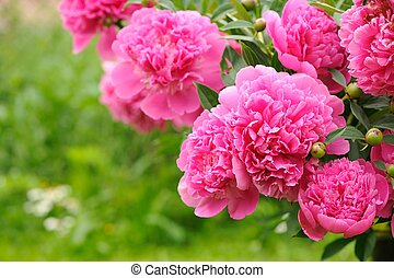 Blooming Peony Bush with Pink Flowers in the Garden - A...