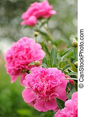 Blooming Peony Bush with Large Pink Flowers - A beautiful...