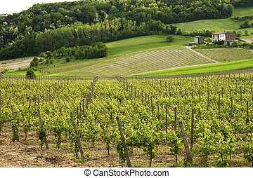 Vine - Landscape of vine and grapes