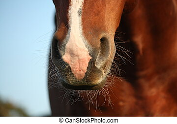 Close up of horse nose - Close up of chestnut horse nose