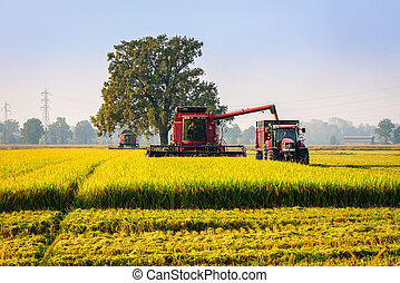 Rice - Every year in September takes place the rice harvest...