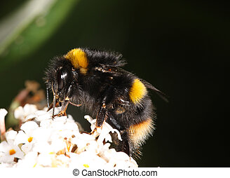 Bumble Bee - Close up of a Bumble Bee