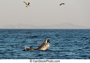 Great White Shark Carcharodon carcharias attacks a seal with...