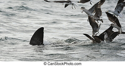 Back Fin of a white shark and Seagulls - Fin of a white...