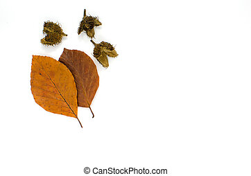 Autumn colored beech leaves and cones on white