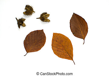 Beech autumn colors - Beech leaves and cones in autumn...