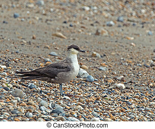Long-tailed Skua - Fourth summer Long-tailed Skua on...