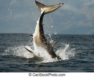Jumping white shark - Jumping Great White Shark Tail of the...