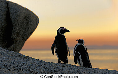 African penguins - African penguin pair at sunset near Cape...