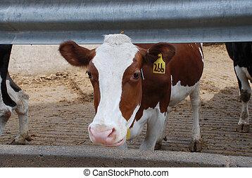 vaca, -, solo