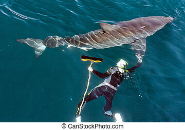 Man and Great White Shark.