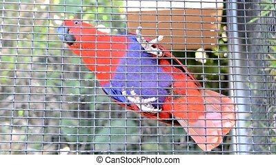 Parrot in a cage - Red parrot is hanging on a cage.