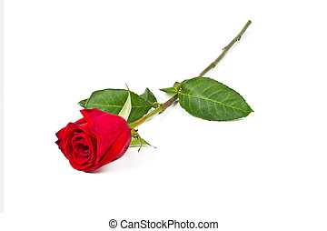 Single Red Rose White Background