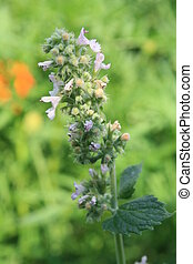 Mentha Piperita - Flowers of mentha piperita in the home...