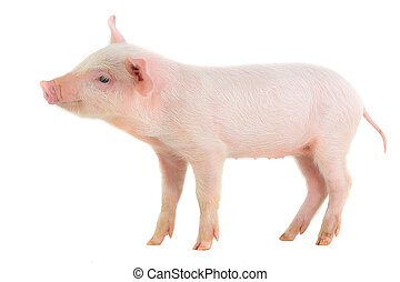 pig on a white background studio