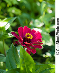 zinnia - The single garden flower the zinnia