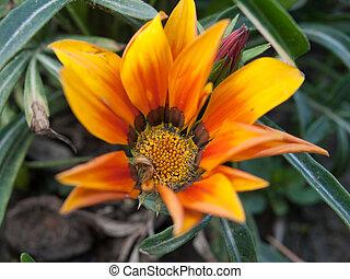 Gazania, flower, ,