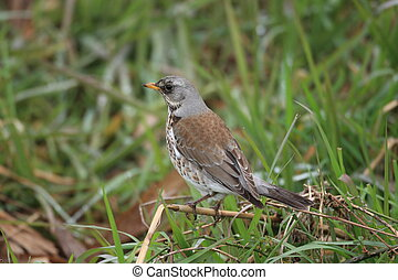 Fieldfare Turdus pilaris in Japan