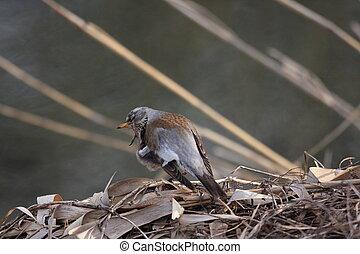 Fieldfare (Turdus pilaris) in Japan
