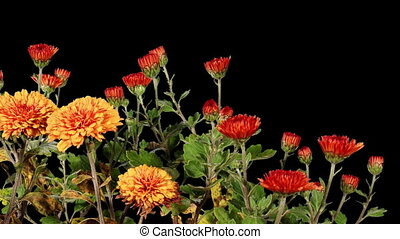 Blooming orange chrysanthemum flower buds ALPHA matte, Full...
