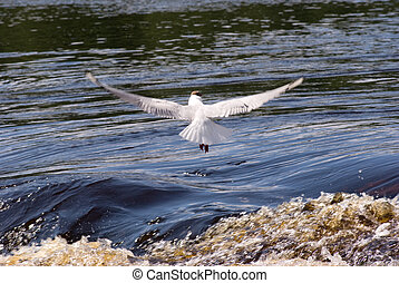 Seagull - A seagull in flight over water Feathers backlit by...