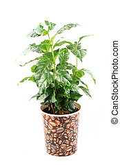 coffee plant isolated on the white background