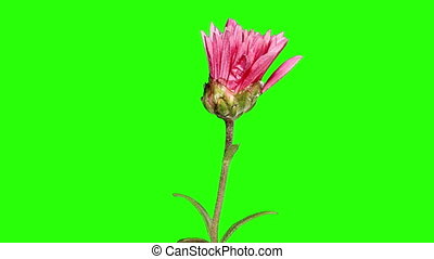 Blooming violet chrysanthemum flower buds green screen, Full...