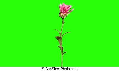 Blooming violet chrysanthemum flower buds green screen, Full...