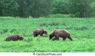 Bears fighting - Grizzly Bears fighting, Summer Kamchatka