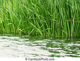 Beautiful green reeds on the lake shore. Natural theme.