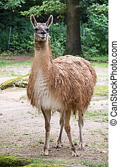 One Guanako (Lama guanicoe) - One Guanako llama (Lama...