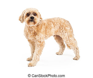 Attentive Maltese and Poodle Mix Dog Standing - An alert and...