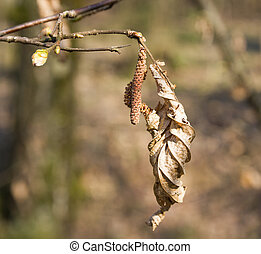 hazel - Dry the shackle and the hazel leaf in early spring