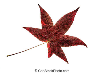 Isolated single red liquidambar tree leaf - Single red...