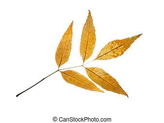 Isolated autumn european ash leaf - Autumn yellow european...