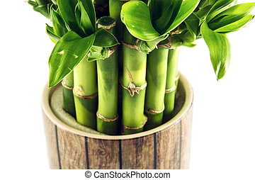 Lucky bamboo plant - Detail of lucky bamboo plant. Natural...