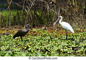 African Hadeda Ibis National Park Lake Naivasha - Common...