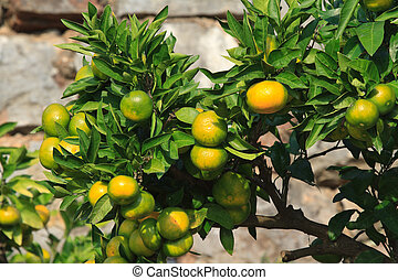 Ripe tangerines on a branch close-up