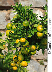tangerines on a branch close-up vertical