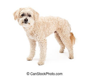 Funny Maltese and Poodle Mix Dog Standing - A funny and...