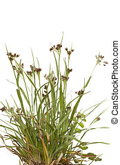 Luzula campestris - tuft young grass(Luzula campestris) on...