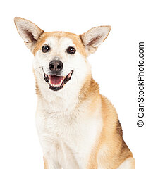 Head Shot of Australian Cattle and Shiba Inu Mix Dog - A...