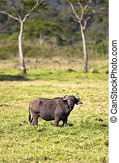 Big buffalo eats grass in idyllic Africa - Staring buffalo...