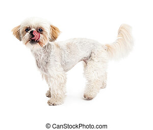 Maltese and Poodle Mix Dog Licking Lips - A cute Maltese and...