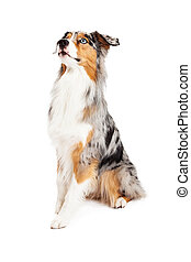 Obedient and Alert Australian Shepherd Dog Sitting