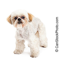 Inquisitive Maltese and Poodle Mix Dog Standing - An alert...