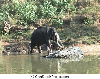 Indian Elephant getting a bath in Mudhumalai Wildlife...