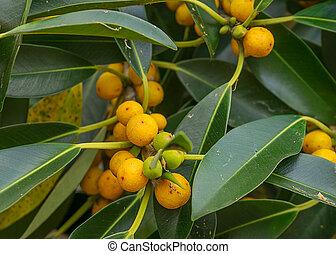 Australiano, nativo, pequeno, folha, figo, árvore,...