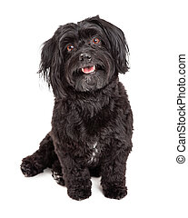 Smiling Havanese Dog Sitting With Mouth Open - A happy and...